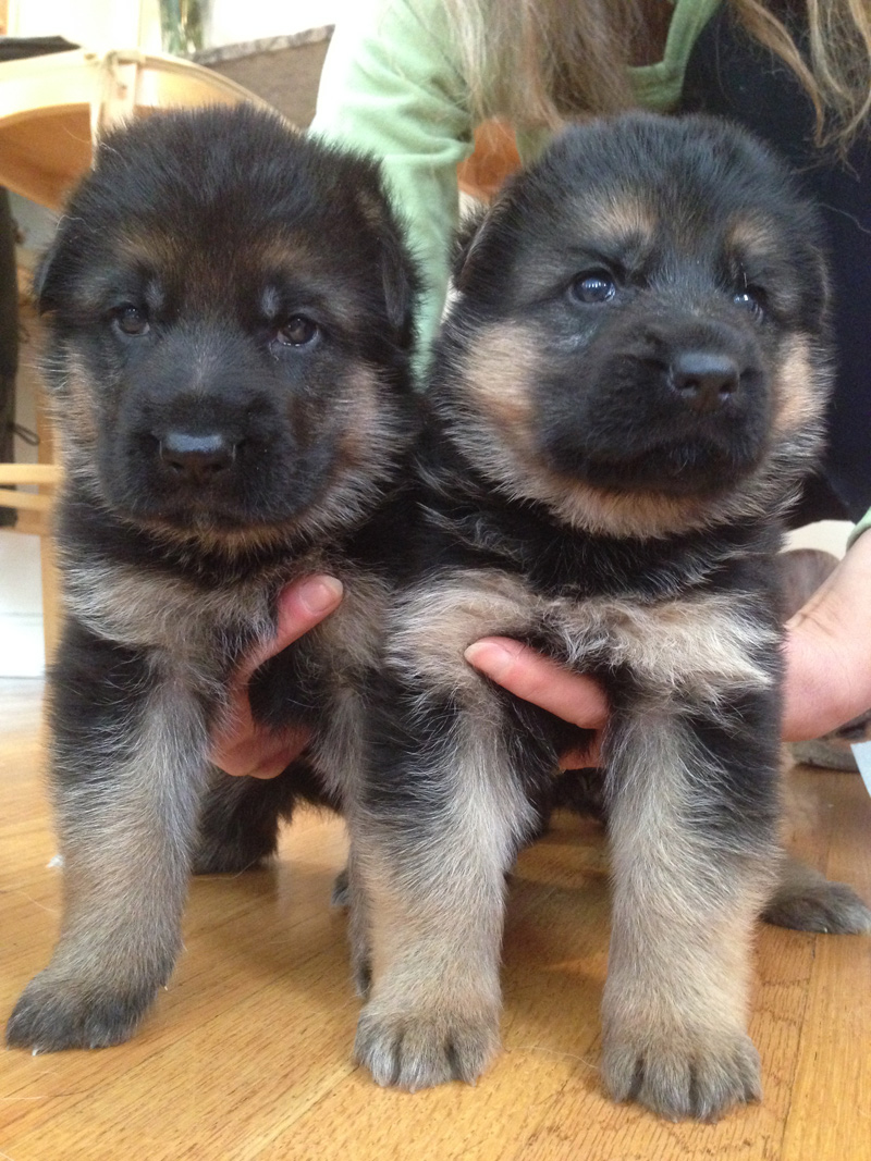 German Shepherd Breeder Ma German Shepherd Puppies Ma