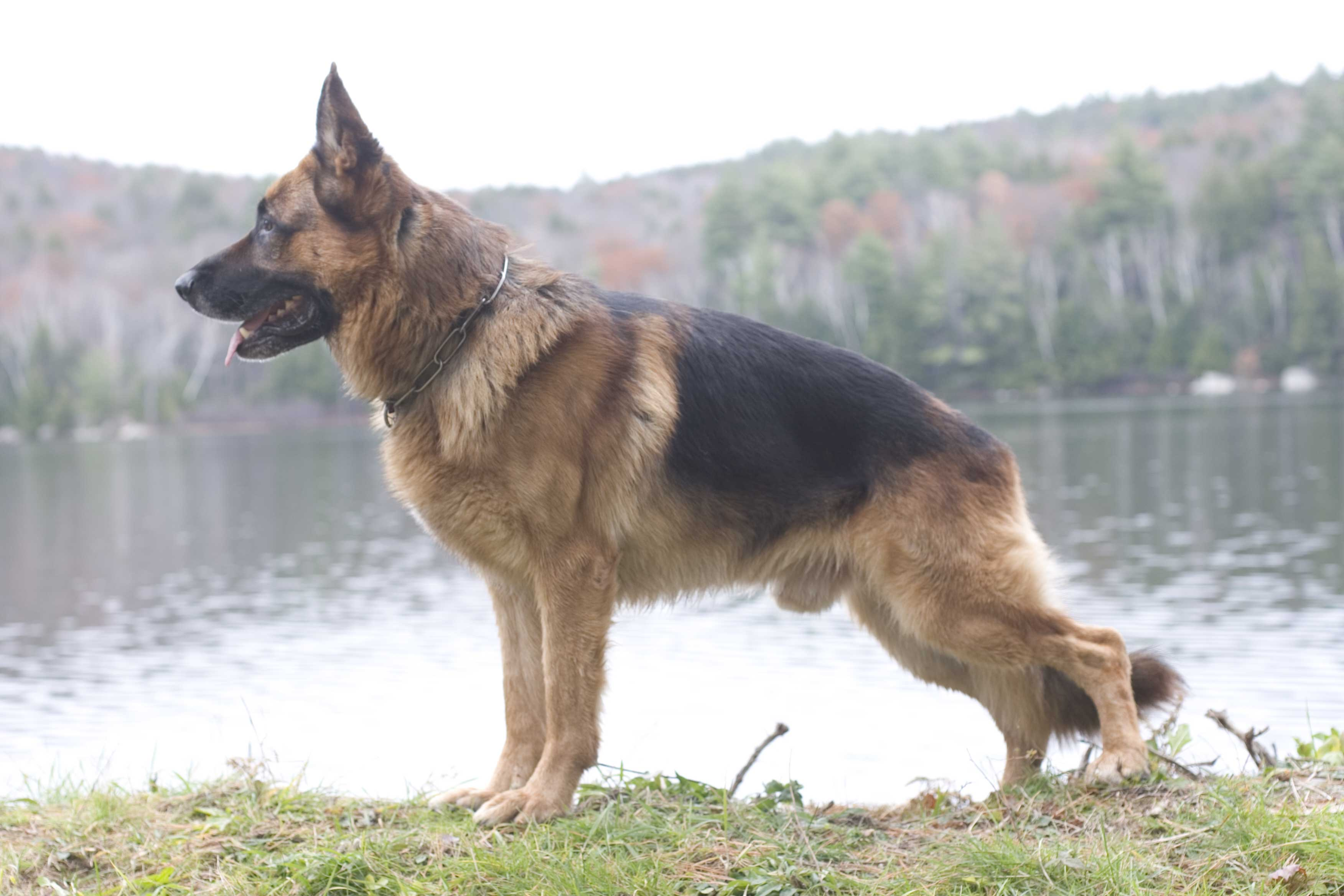 German Shepherd Breeder Ma